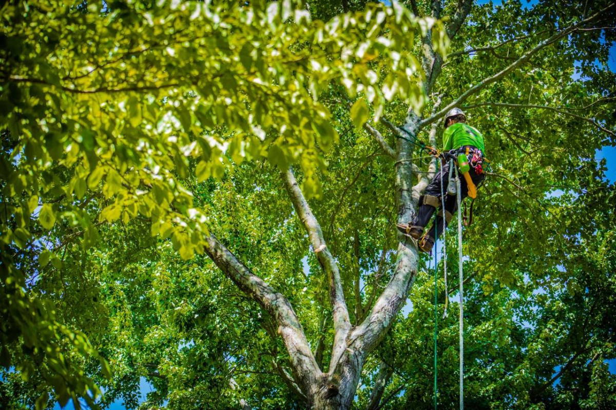 alpine tree care - call daniel hunsucker in lexington and columbia SC